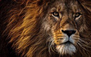 lion-3576045_640