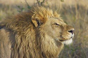 lion-515028_640