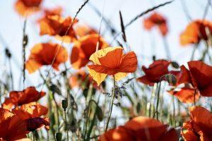 poppy-3581709_640
